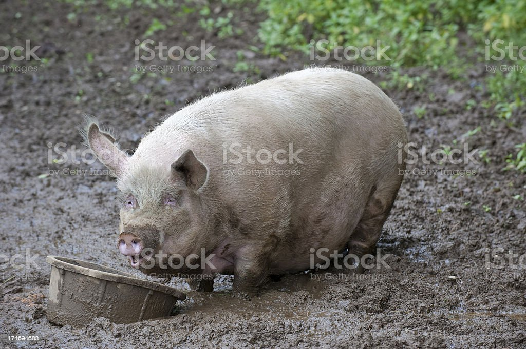 Large Pig with Feed Bucket in a Field of Mud royalty-free stock photo