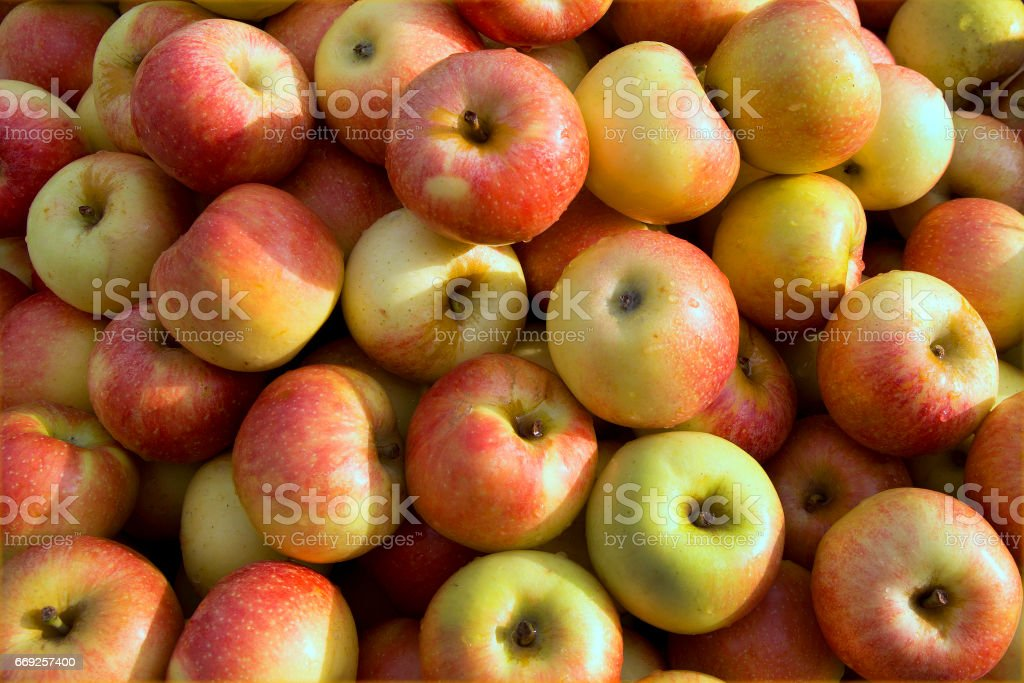 Large Pile of Red and Yellow Royal Gala Apples stock photo