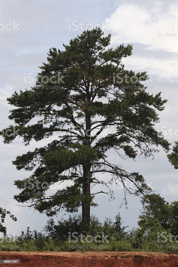 Large Pine Tree On Clay Island royalty-free stock photo