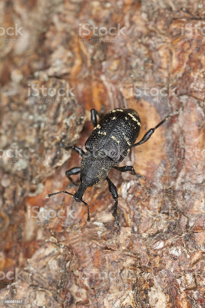 Large pine weevil, Hylobius abietis stock photo