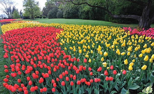 Large plant of tulips stock photo