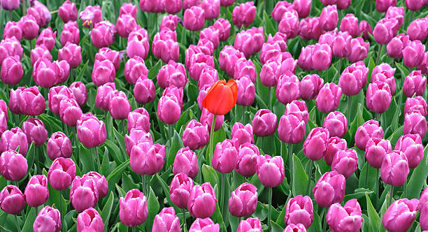 Large plant tulip stock photo