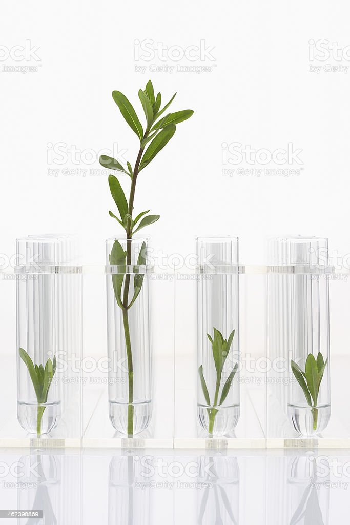 Large plant with three small plants in test tubes stock photo