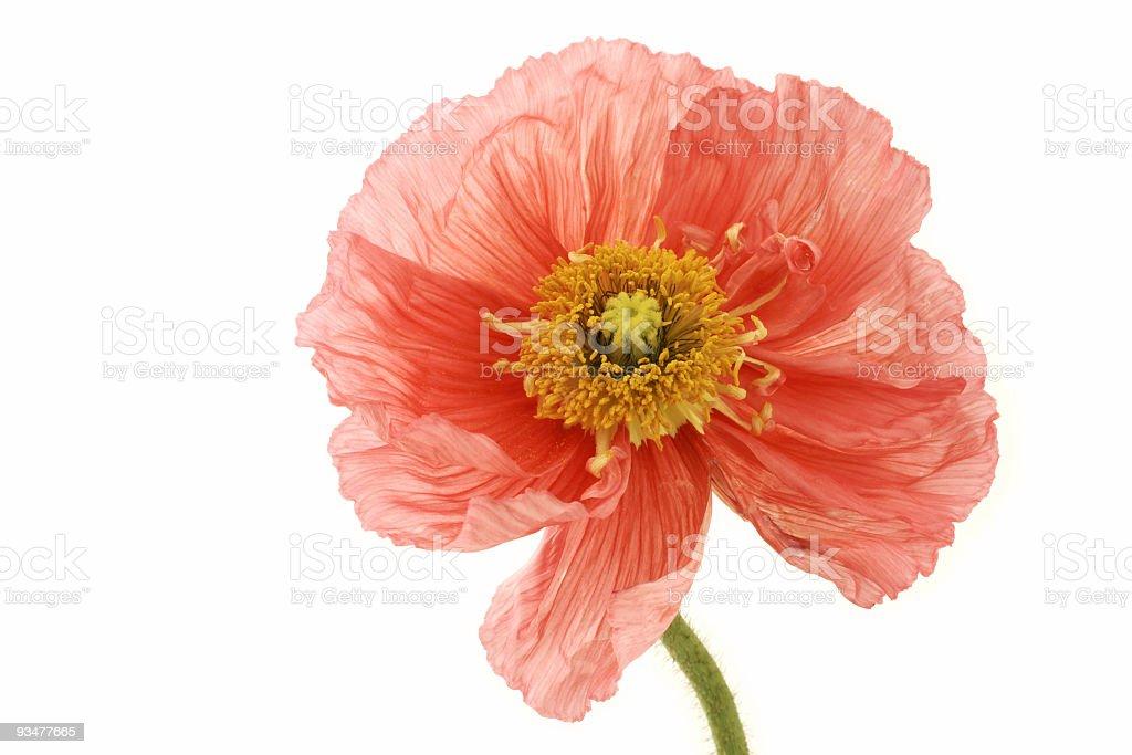 Large Poppy royalty-free stock photo