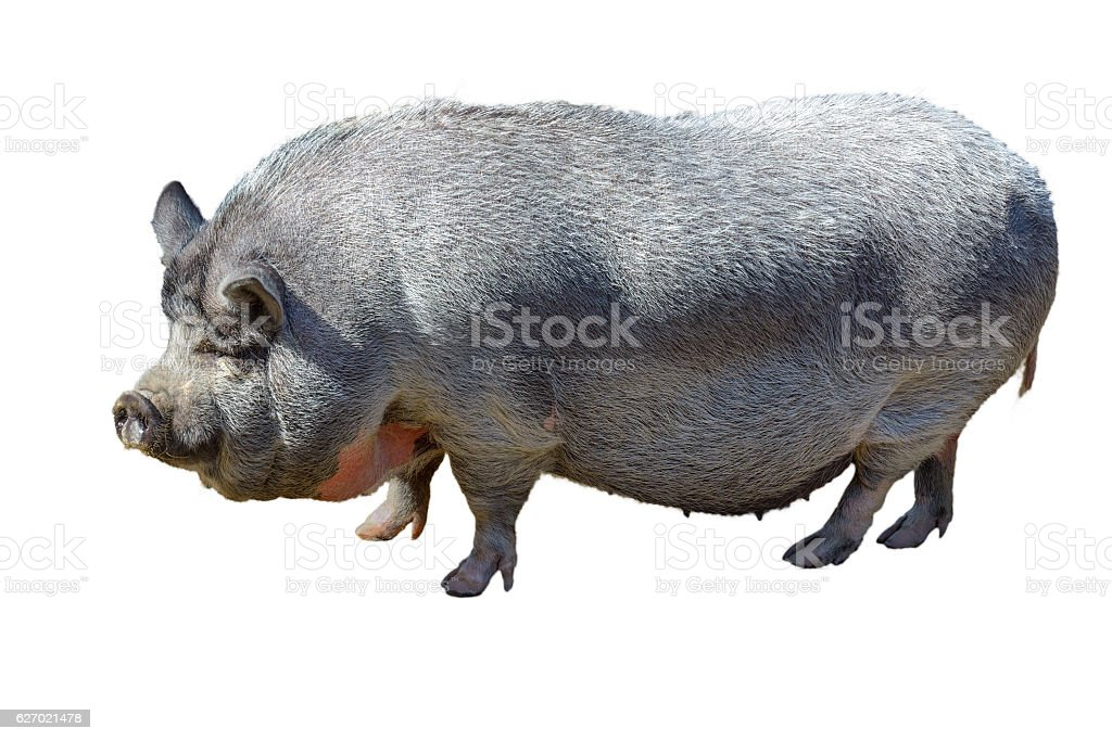 Large pot-bellied vietnamese pig. Isolated, white background. stock photo