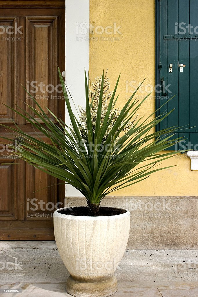 Large potted yucca royalty-free stock photo
