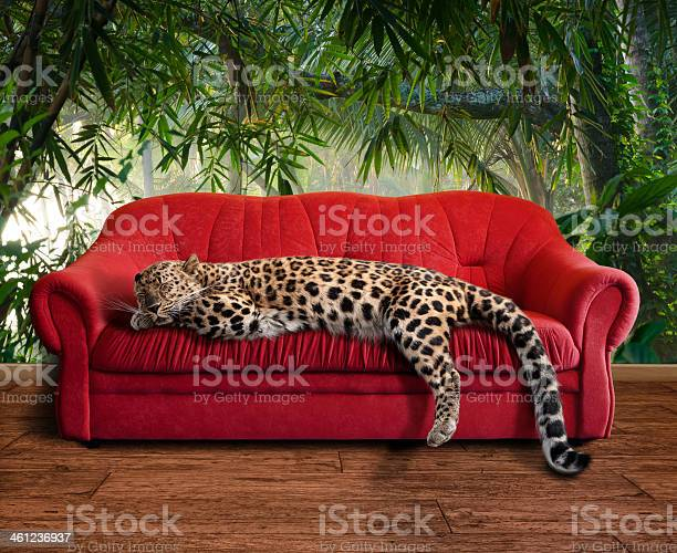 Large pussy cat leopard sleeping picture id461236937?b=1&k=6&m=461236937&s=612x612&h=iioo6rpy81mmy6je1lgapvieh9delxu8eldjdnjjgiq=