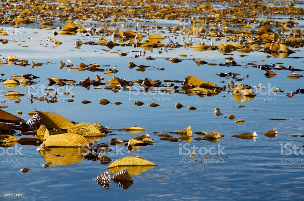 Large raft of giant kelp backlit by the morning sun stock photo