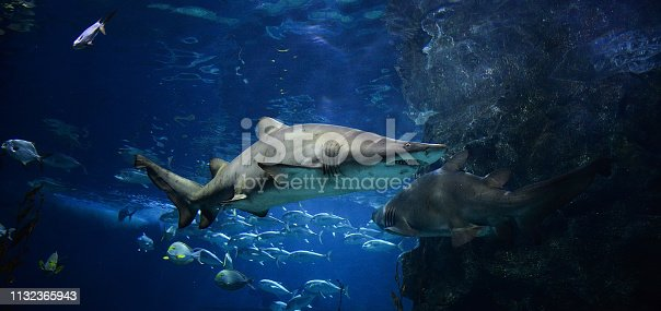 istock Large ragged tooth shark picture sea underwater / Sand tiger shark swimming marine life in the ocean 1132365943