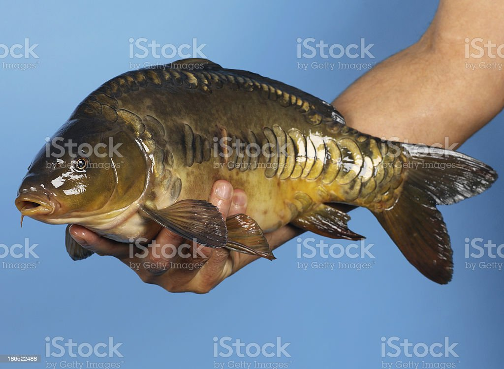 Large rainbow trout being released in a lake royalty-free stock photo