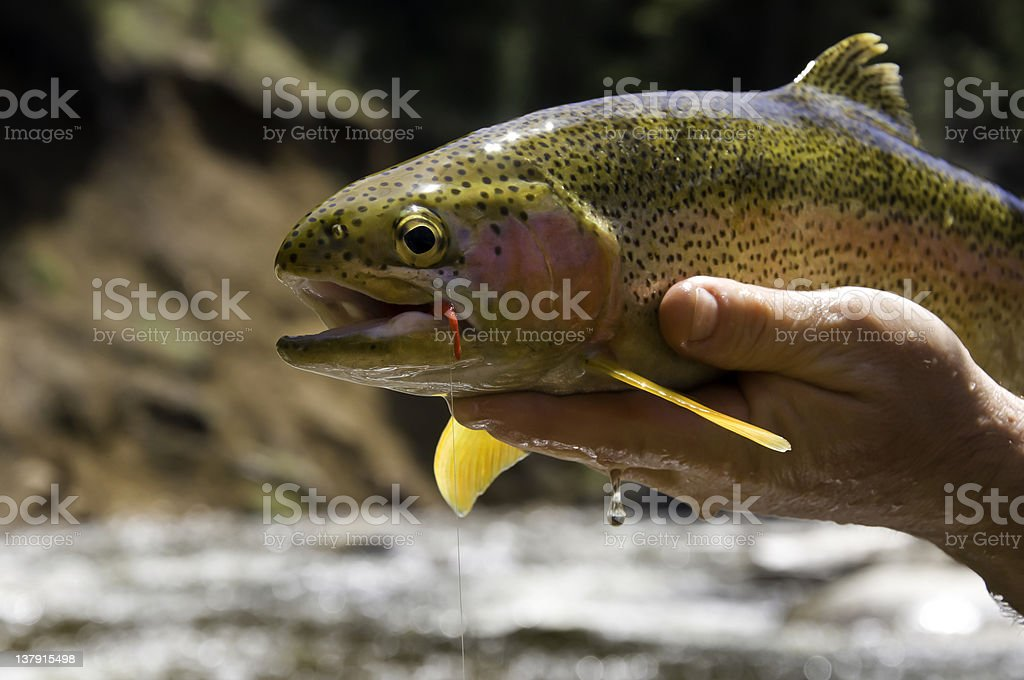 Large Rainbow Trout Closeup royalty-free stock photo
