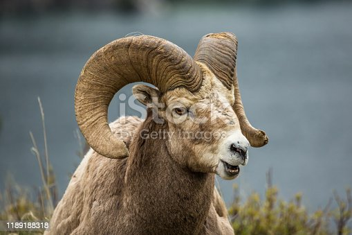 Large ram bighorn sheep mountain goat laying in the grass with mouth open on gray background. Canadian Rocky Mountain Bighorn Sheep