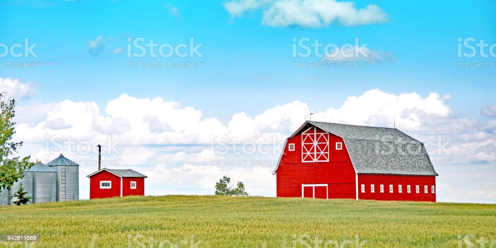 Large red barn in summer wheat field stock photo