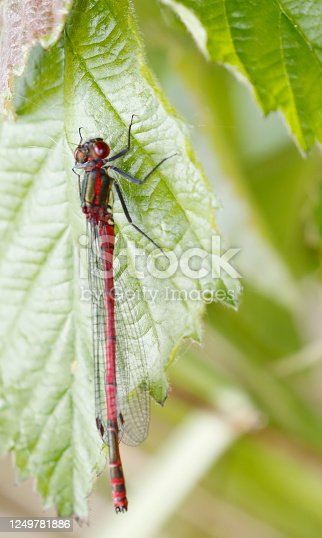 General: The Large Red Damsel is the first sign of spring in much of Europe, where it is a common Species. Field characters: Tot 33-36mm, Ab.25-30mm, Hw 19-24mm. Somewhat larger and more robust than Enallagma cyathigerum. Both sexes have a red abdomen, with only the last segments largely black. Habitat: Wide range of waters, with the highest abundance in well-vegetated, standing water. Flight Season: One of the earliest species in Northern Europe. From April to August, most abundant in May and June.  In the Netherlands this is a common Species in the described Habitat.