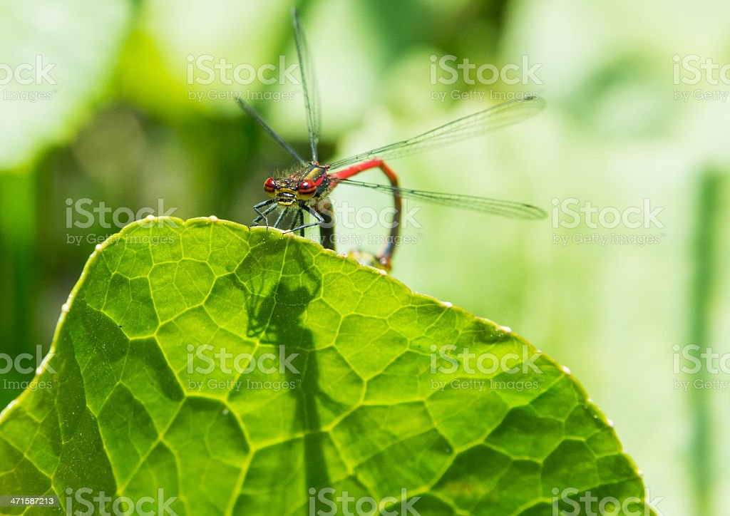 Large Red Damsel stock photo