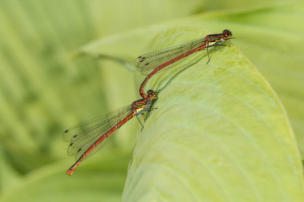 Large red damselflies mating stock photo