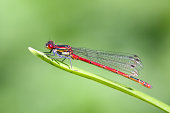 Red DamselflySee my other animals photos
