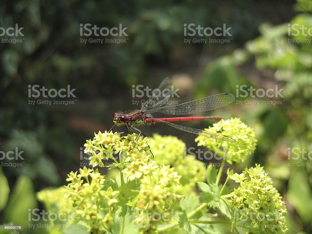 Large Red Damselfly royalty-free stock photo