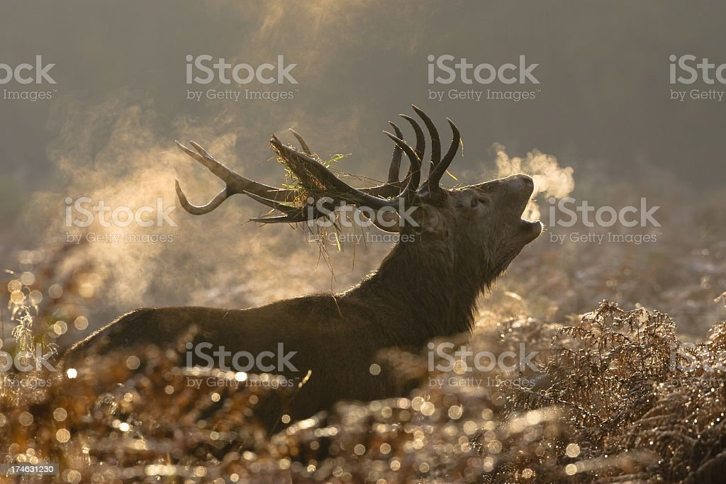Large red deer buck howling in a field stock photo