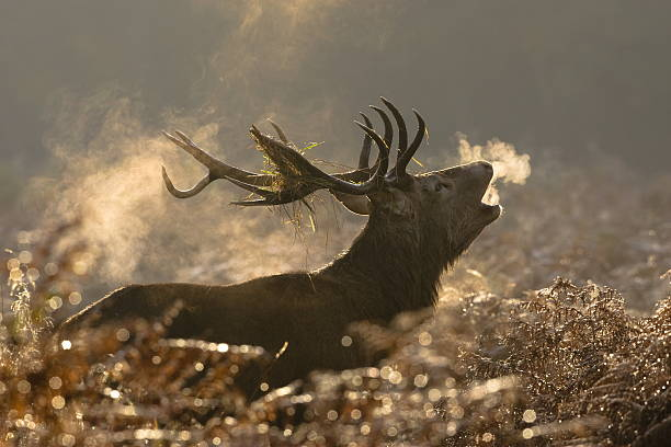Large red deer buck howling in a field Red Deer(Cervus elaphus) rutting stock pictures, royalty-free photos & images
