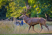 istock Large red deer stag in front of father and son 1279157462