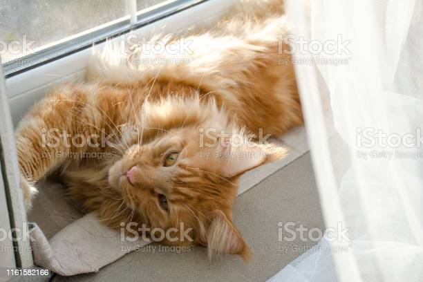 Large red marble maine coon cat lies on a white curtains against a picture id1161582166?b=1&k=6&m=1161582166&s=612x612&h=fraequov68gvt1lyjjt0typwfhf1jbonju8tkrdezbg=