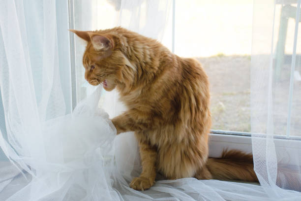 Large red marble maine coon cat plays with a foil ball and nibbles picture id1160168435?b=1&k=6&m=1160168435&s=612x612&w=0&h=ve  0pc2st9ceh2nej0zznqmf44jrteemuo3sdhsjdy=