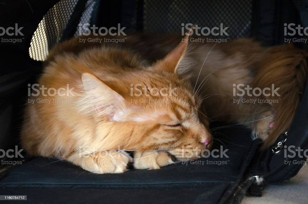 Close up of a young large red marble Maine coon cat lies in a pet...