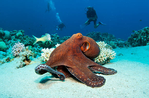 a large red octopus under the ocean - octopus stock pictures, royalty-free photos & images