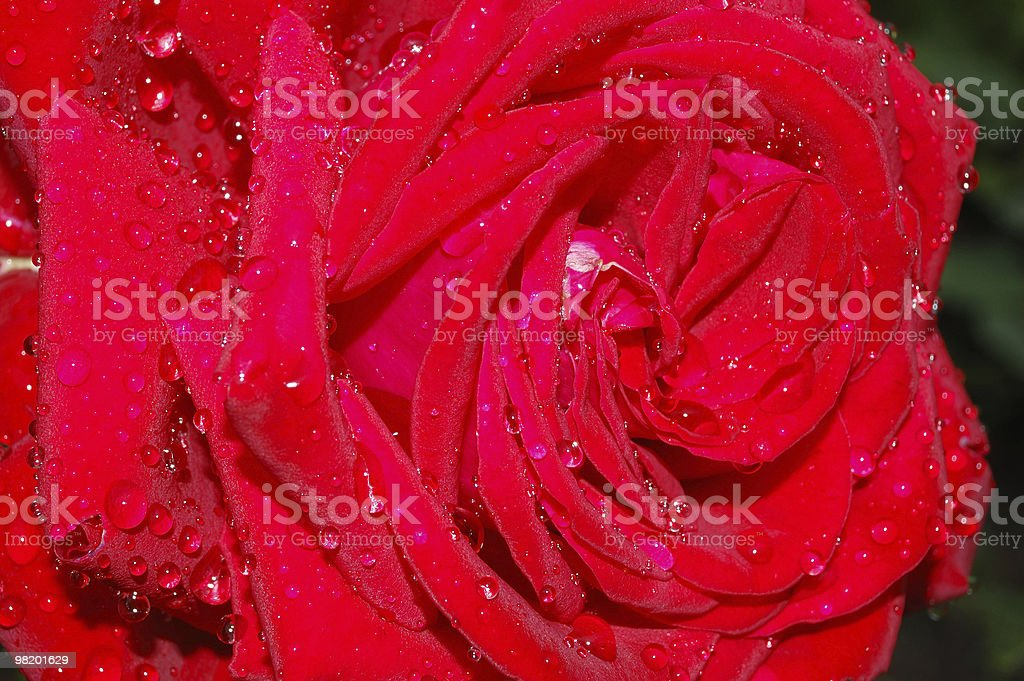 Large red rose with dew drops royalty-free stock photo