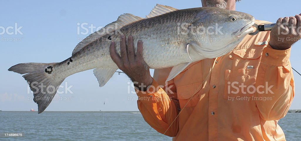 Large Redfish - Bull Red royalty-free stock photo