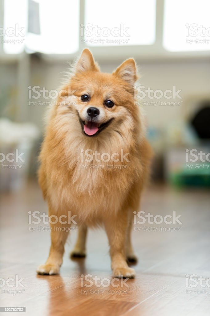 large red-headed Spitz stands on the floor joyfully sticking out his tongue stock photo