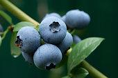 istock Large ripe dark blue-black blueberry berries on a bush. 1253881243