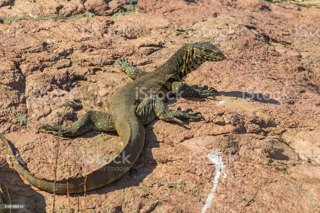 Large rock monitor lizzard sitting in the sun stock photo