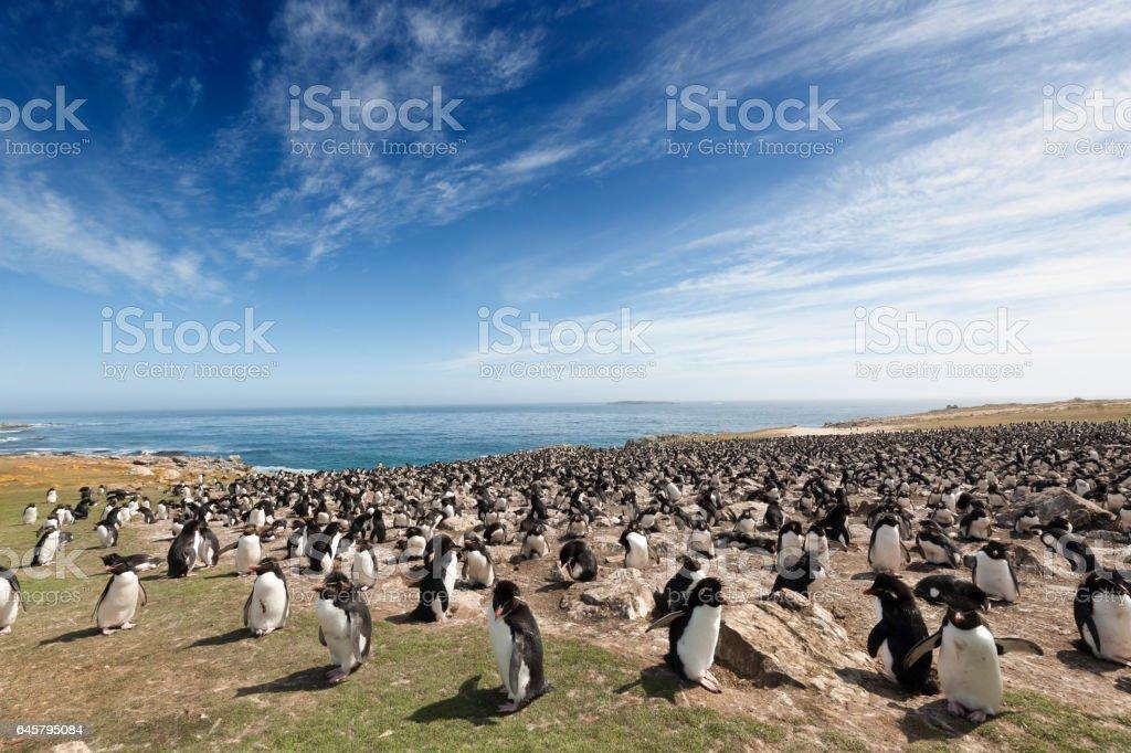Large Rockhopper Penguin Colony on the Falkland Islands stock photo