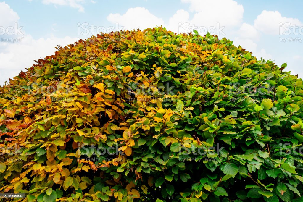 Large round boxwood bush in a park stock photo