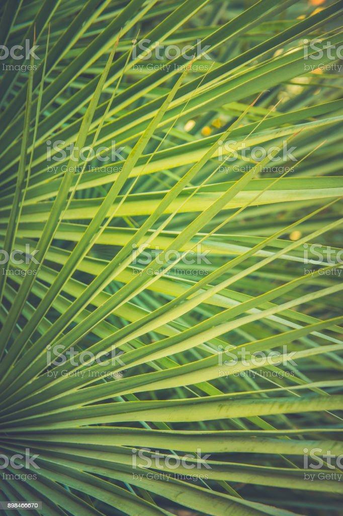 Large Round Spiky Palm Tree Leaf in Golden Sun Flare. Dark Green...