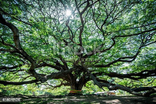 Large Samanea saman tree with branch in Kanchanaburi, Thailand. the big tree in thailand