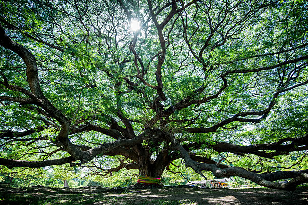 Large Samanea saman tree with branch in Kanchanaburi, Thailand Large Samanea saman tree with branch in Kanchanaburi, Thailand. the big tree in thailand abundance stock pictures, royalty-free photos & images