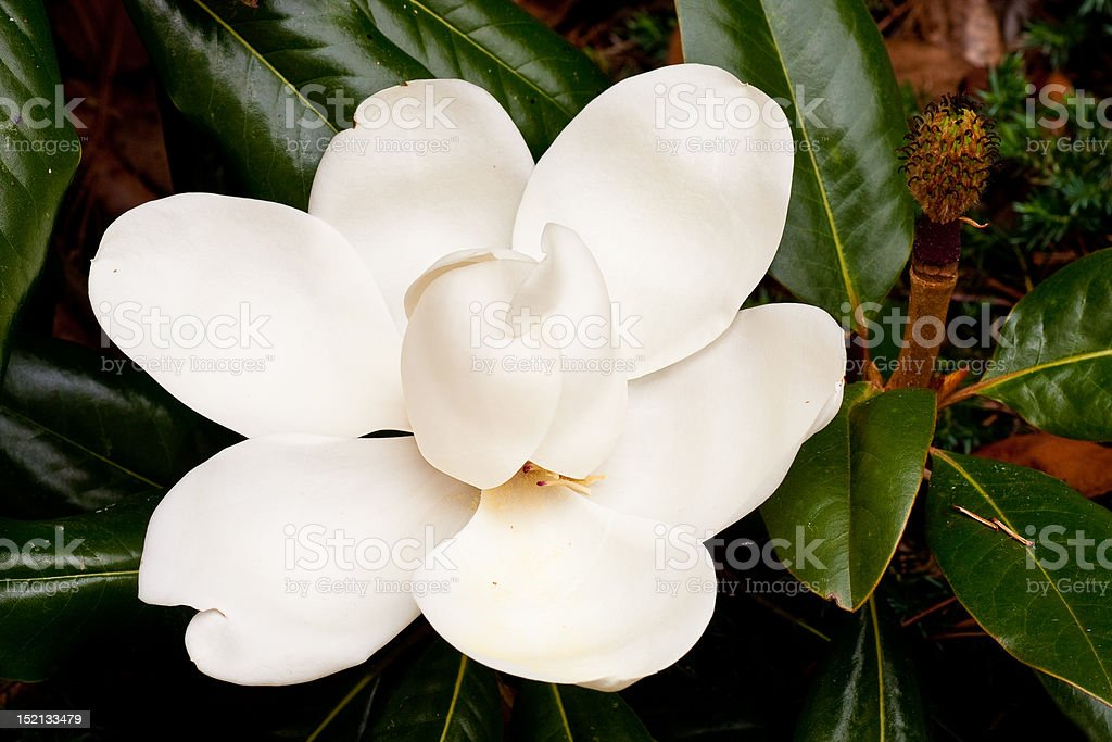 Large Saucer Magnolia Blossom stock photo