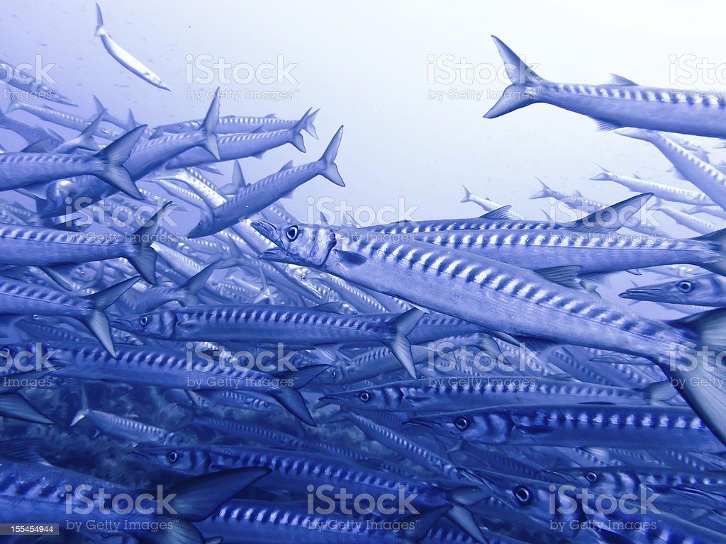 Large School of Barracudas, Ustica II-2 stock photo