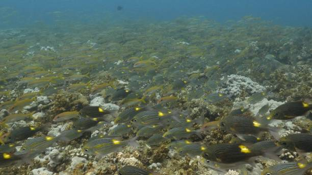 Large school of coral fish swimming at undersea reef in Japan stock photo
