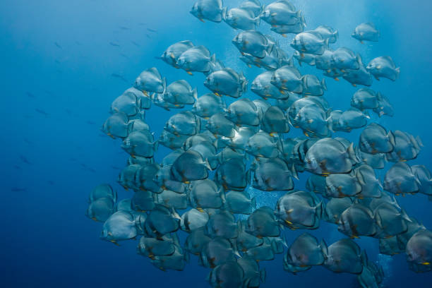 Large school of Orbicular spadefish stock photo