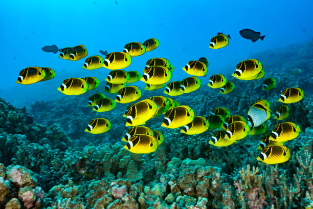 Large School of Raccoon Butterflyfish Chaetodon lunula over Coral Reef, Big Island, Hawaii stock photo
