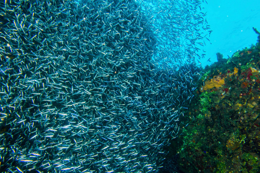 istock Large school of Silverside Herring swimming near coral 465611261