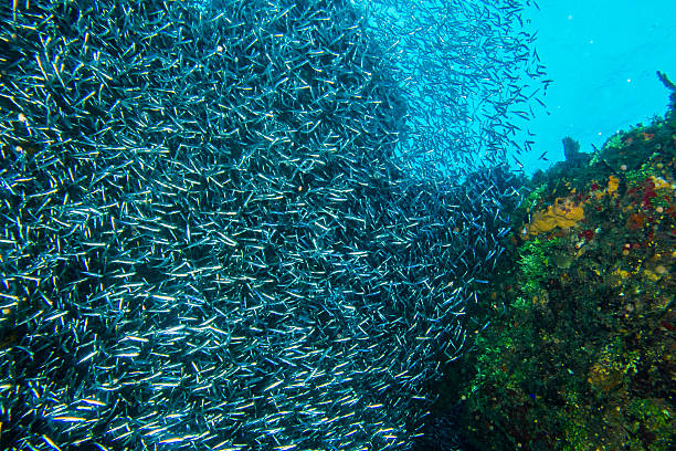 large school of silverside herring swimming near coral - herring stock photos and pictures