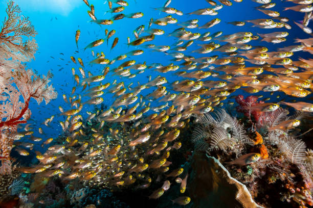 Large School of Swallowtail Cardinalfish Verulux cypselurus, Komodo National Park, Indonesia stock photo