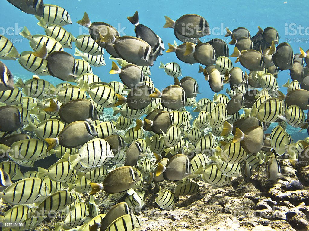 Large school of tropical coral reef fish stock photo
