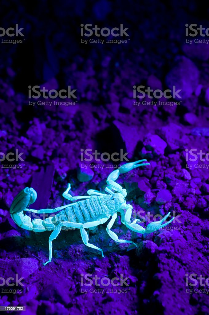 A large scorpion under UV light stock photo