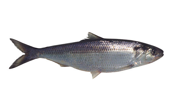 large silver fish isolated on a white background - herring stock photos and pictures